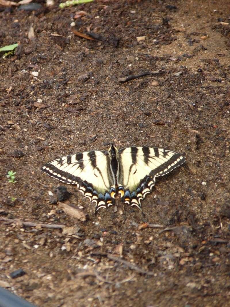savez vous comment les papillons  s,abreuvent? P1060110