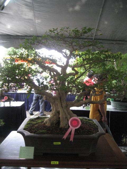 3rd Malaysia Bonsai Carnival-Baeckea Frutescens almost steal the show 510