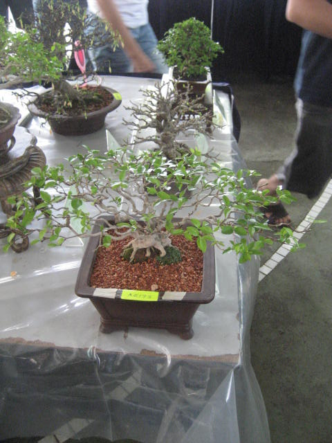 3rd Malaysia Bonsai Carnival-Baeckea Frutescens almost steal the show Img_2328