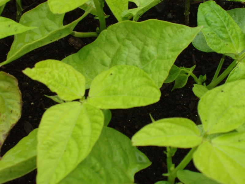 Cures for yellow bean leaves? Beans_10