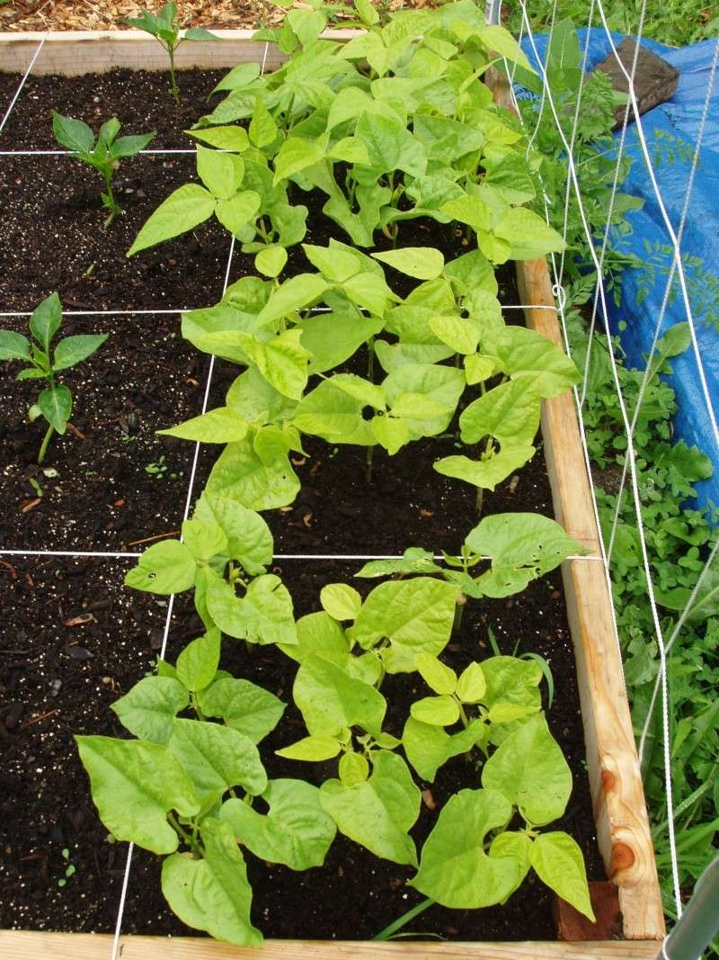Cures for yellow bean leaves? Beans_13