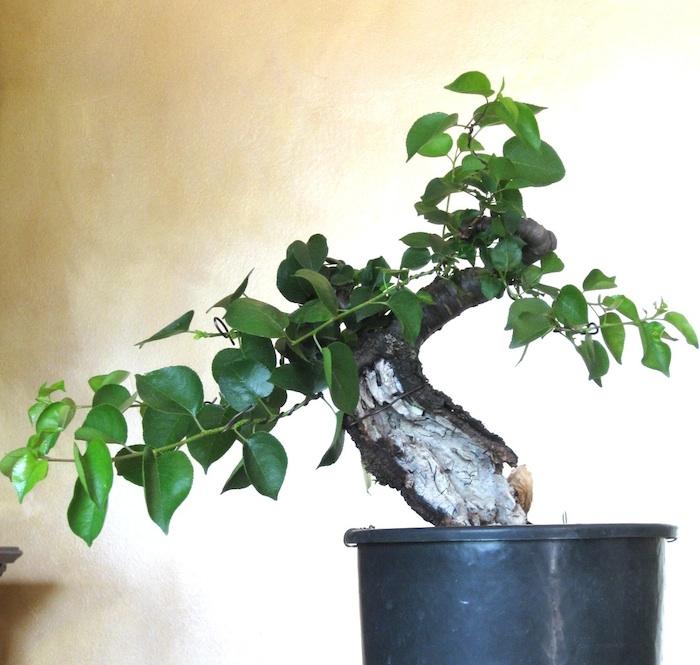 "Prunus mahaleb ""Stelo di giada"". Img_2010"