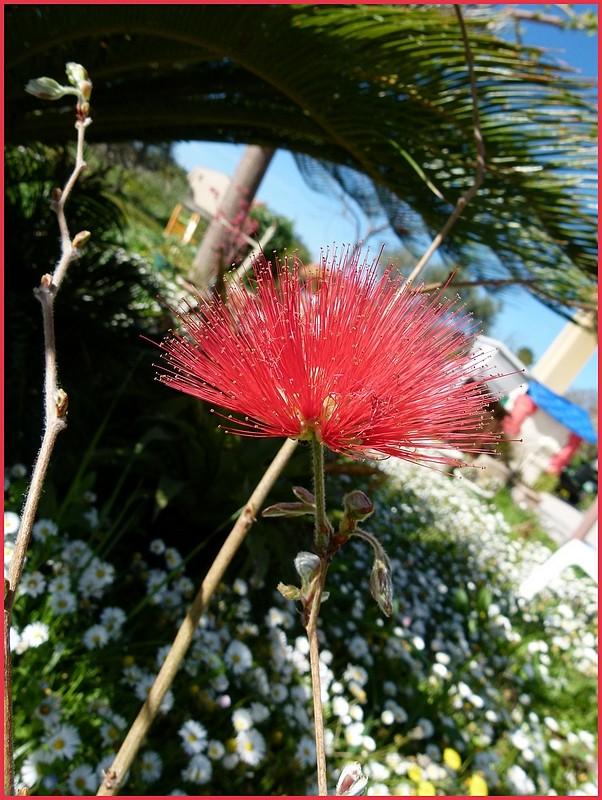 Calliandra tweedii, le pompon de marin : P1000520