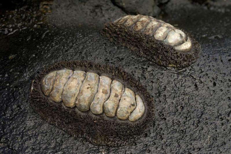 Acanthopleura gemmata - (Blainville, 1825) 311