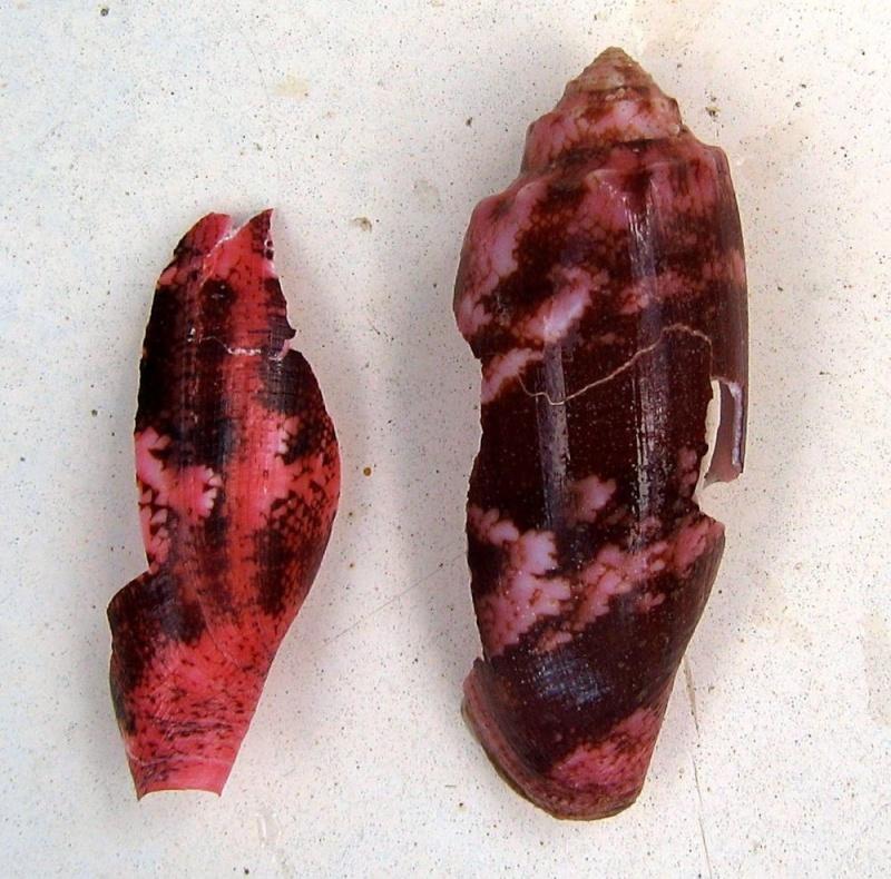 Acanthopleura gemmata - (Blainville, 1825) Cone_e11