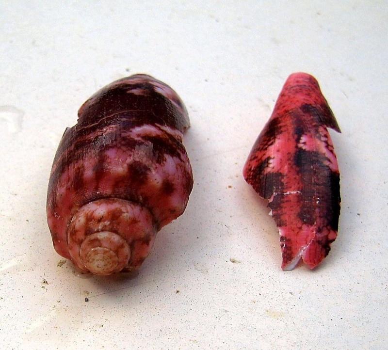 Acanthopleura gemmata - (Blainville, 1825) Cone_e12