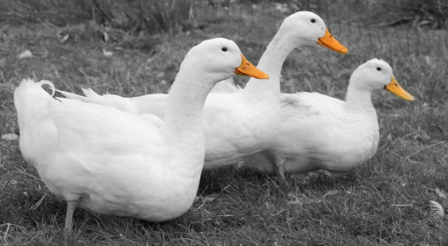 Forum Challenge - Wednesday 11th May. Hosted by Ann-Marie Metcalfe Ducks10