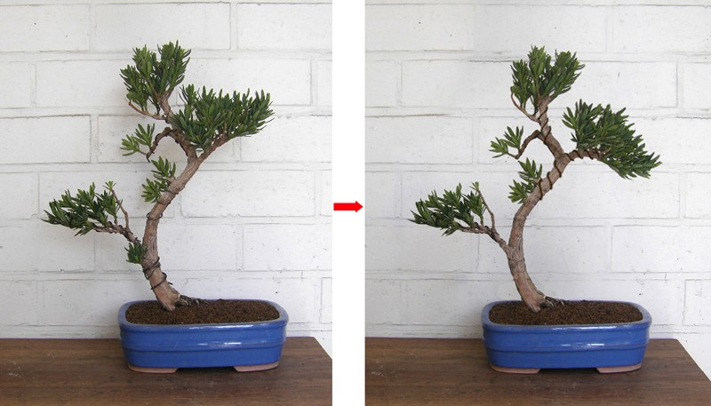 Idea for podocarpus Podoca10