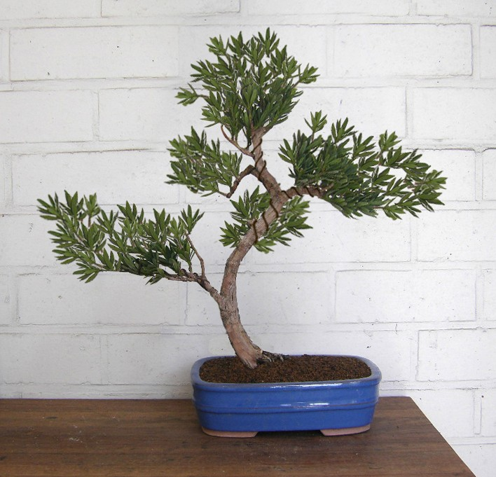 Idea for podocarpus Podoca11