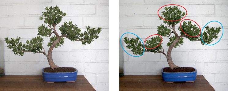 Idea for podocarpus Podoca12