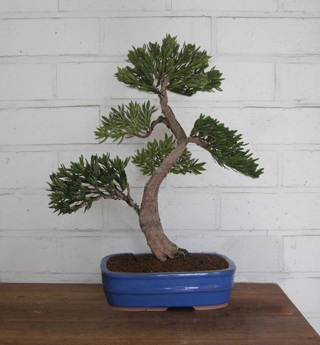 Idea for podocarpus Sth71710