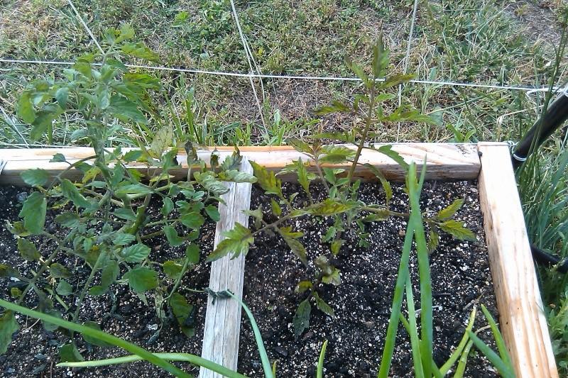 Tomato Tuesday/Mid-Atlantic Region Sfg06012