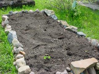 Dawn's Garden  Cabbag10
