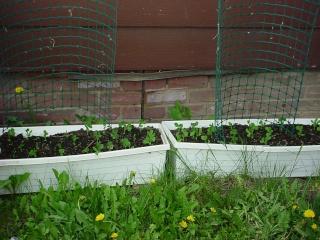 Dawn's Garden  Peas_111