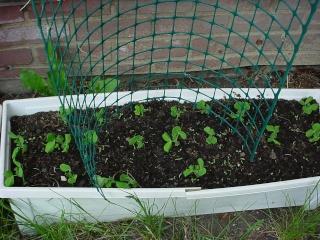 Dawn's Garden  Peas_210