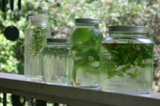 "Making Herbal ""Solar Teas"" Sun_te10"