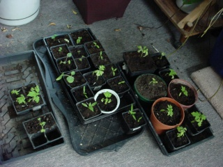 Dawn's Garden  Tomato13