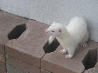 [PERDUE] Tagada, femelle albinos Gjddel14