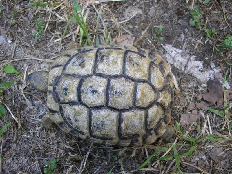Identification des mes tortues P1010010