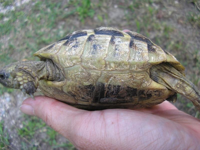 Identification des mes tortues P1010012