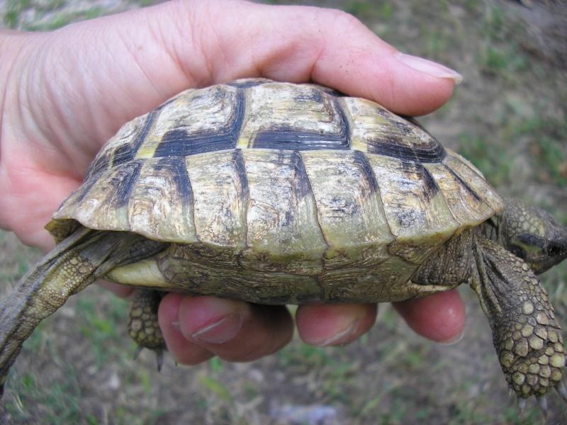 Identification des mes tortues P1010013