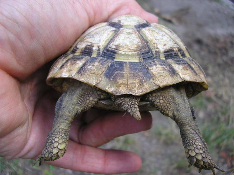 Identification des mes tortues P1010014