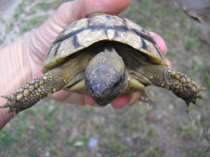 Identification des mes tortues P1010015