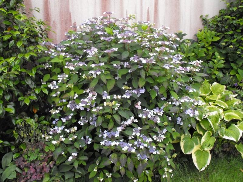Hydrangea   Hortensia des jardins - Page 2 Jardin34