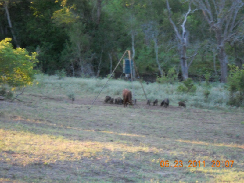 PIGS AND COWS 00610