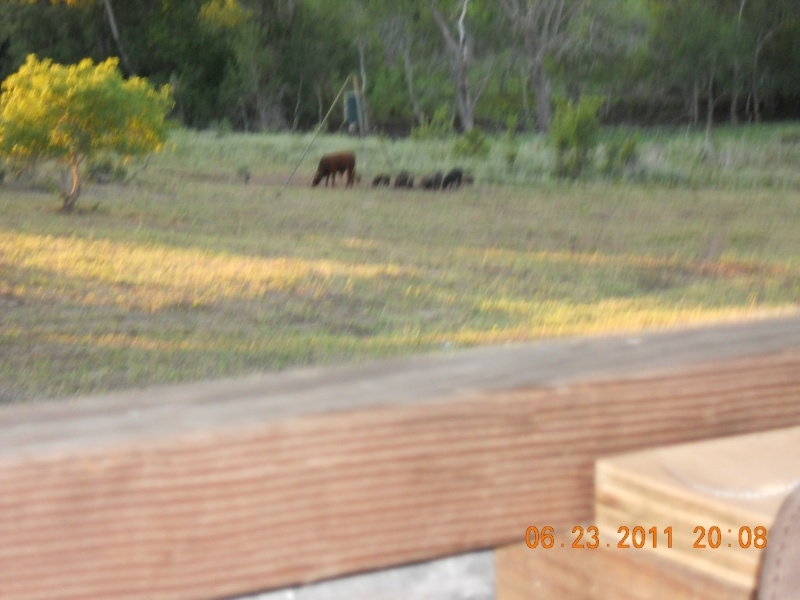 PIGS AND COWS 00810