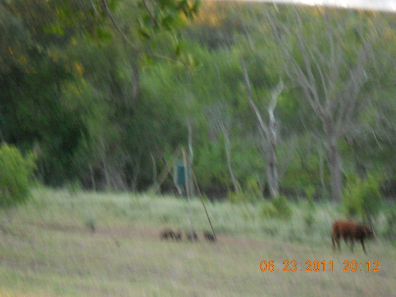 PIGS AND COWS 01010