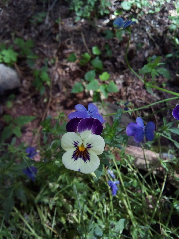 pensées du jardin Img_2062