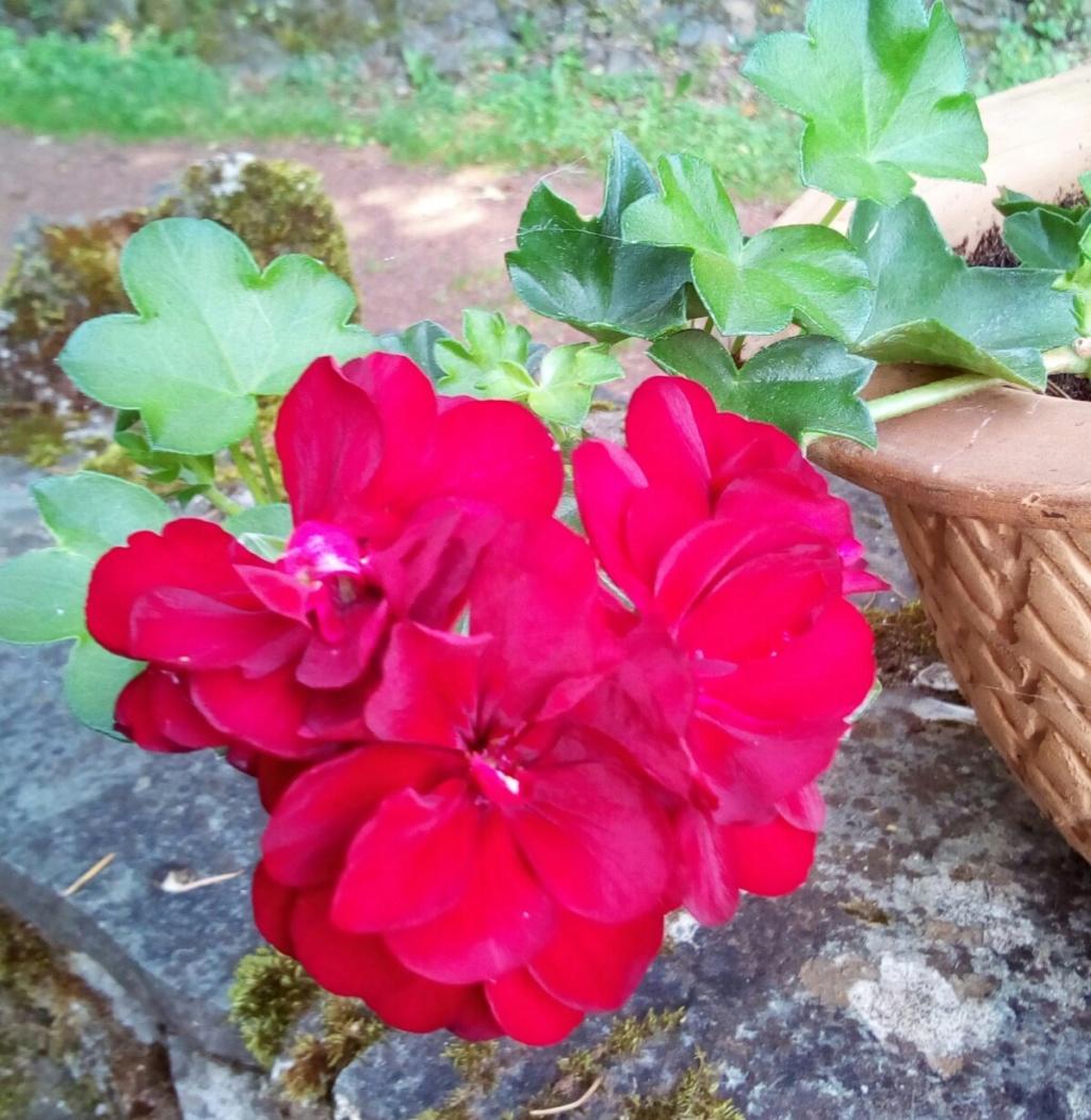 pensées du jardin Img_2063