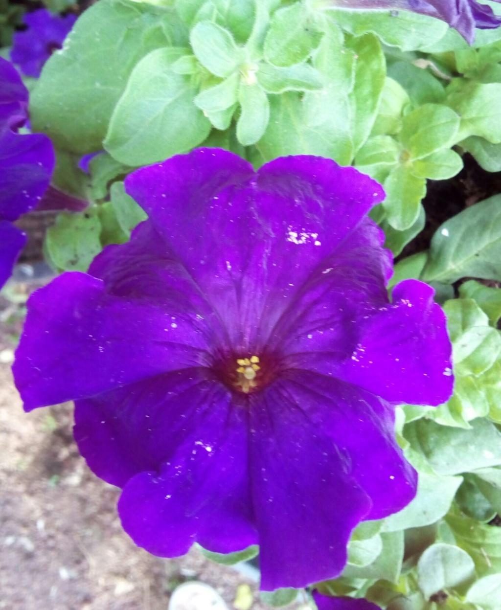 Les pétunias... source de couleurs insolites !  Img_2069