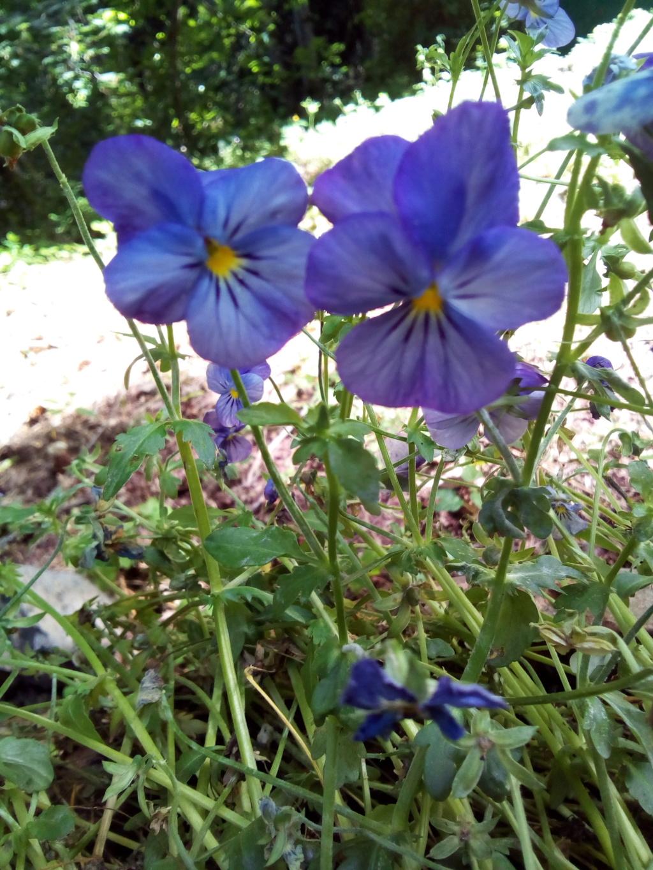 pensées du jardin Img_2071