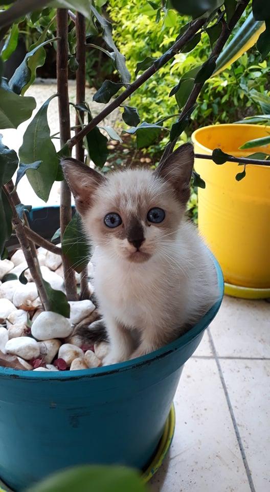 IRO, chaton typé siamois, frère de Tani, Gengis et Sipion, né le 01/03/2021 17890610