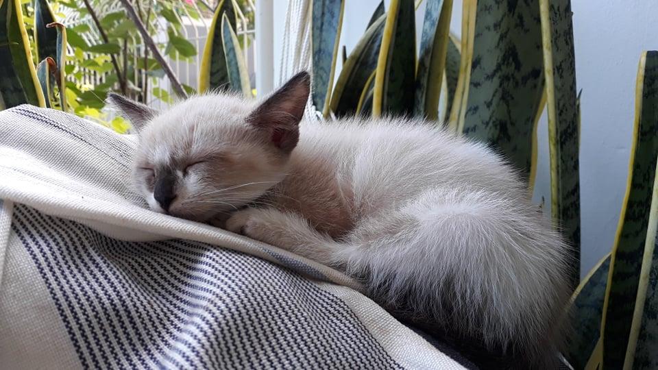 IRO, chaton typé siamois, frère de Tani, Gengis et Sipion, né le 01/03/2021 18096110