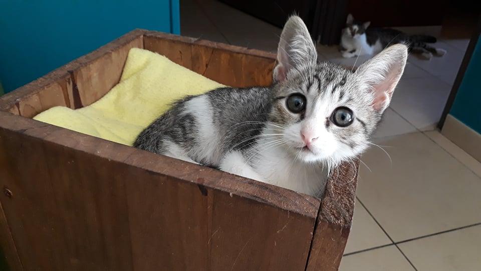 GENGIS, chaton tigré gris, frère de Tani, Iro et Sipion, né le 01/03/2021 18396810