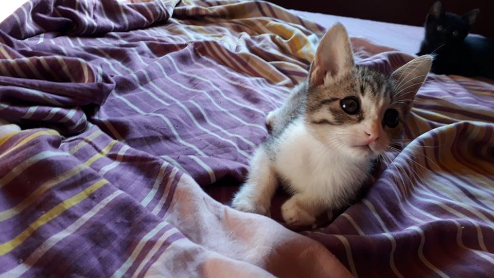 GENGIS, chaton tigré gris, frère de Tani, Iro et Sipion, né le 01/03/2021 18513510