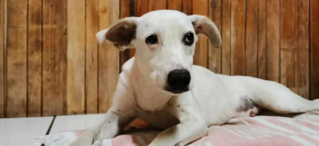 YARI, jolie chienne blanche 1 an (née le 01/06/2020) - 13 kg - Marrainée par Pat84 Img-2011