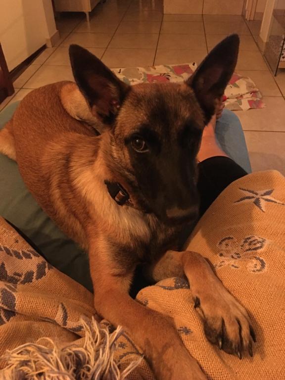BLAKE, jeune chien fauve masque noir, né le 24/09/2020, 1 an 19 KG-Marrainé par Charlène Img_0811