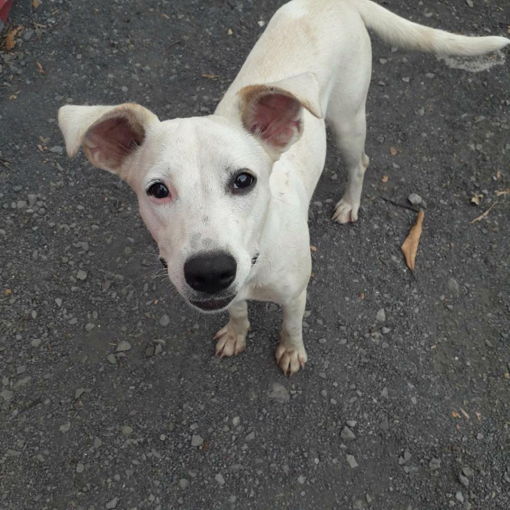 YARI, jolie chienne blanche 1 an (née le 01/06/2020) - 13 kg - Marrainée par Pat84 Thumbn41