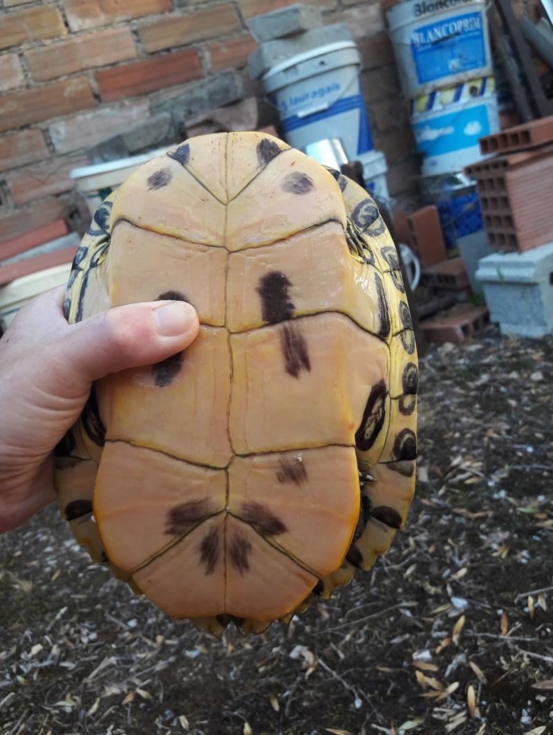 Trouvée tortue sur la route 36368111