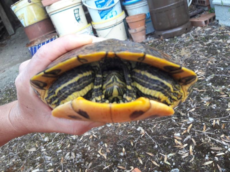 Trouvée tortue sur la route 36506411