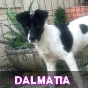 Association Remember Me France : sauver et adopter un chien roumain Dalmat11
