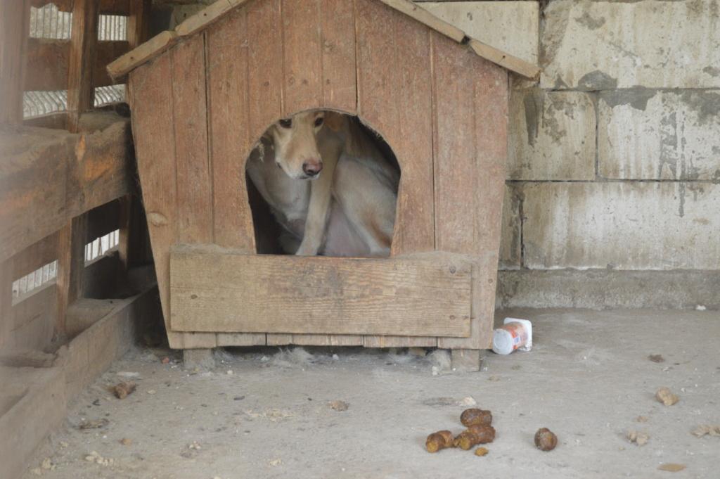 ELINA, femelle née en 2016, type Labrador sortie de l'équarrissage le 10 Avril- marrainée par Roxinette -R-SC-SOS Dsc_4032