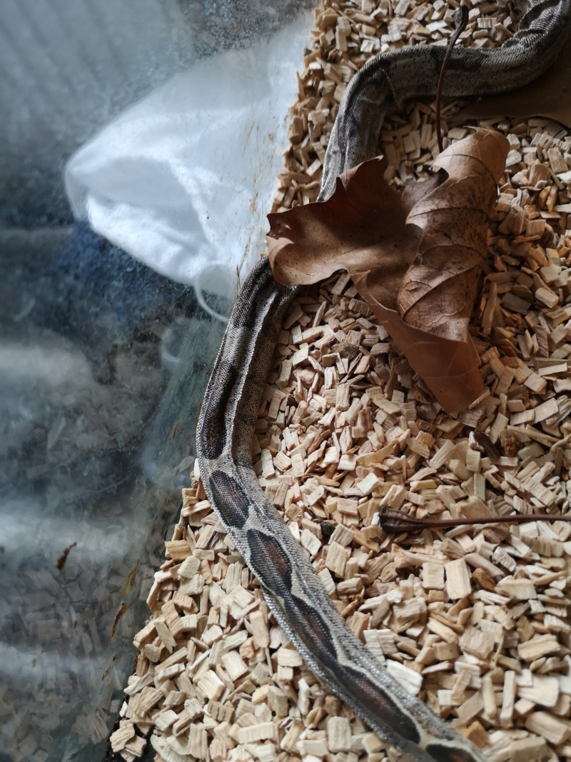 Mauvaise mue constrictor imperator  20190115