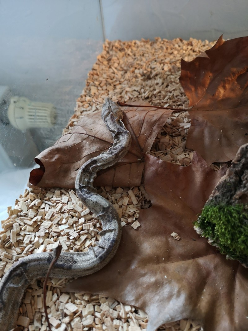 Mauvaise mue constrictor imperator  20190116