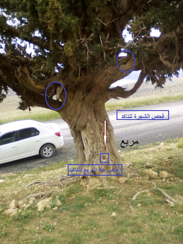 الاشجار التكنيزية 26