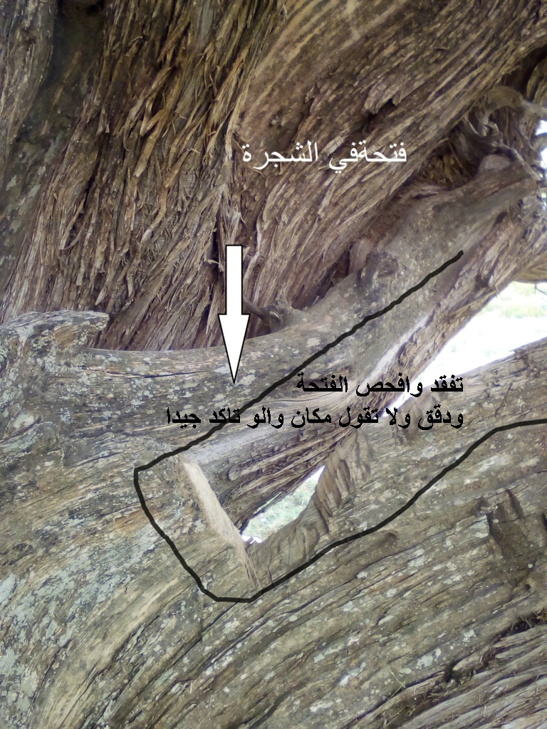 الاشجار التكنيزية Ccc11